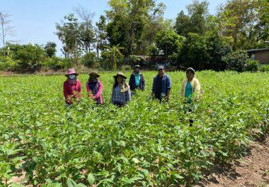 ติดตามแปลงผลิตงาดำอุบลราชธานี 3 และให้คำแนะนำการผลิตงาแก่เกษตรกร ในโครงการพัฒนาการผลิตงาดำในสภาพนาอินทรีย์